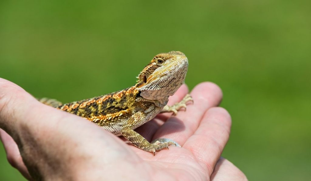 baby bearded dragon being held