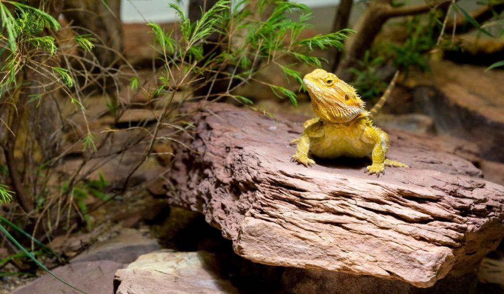 bearded dragon on a basking rock