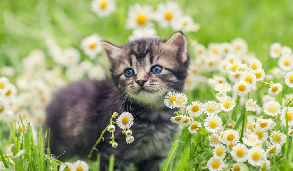 beautiful kitten in flower field