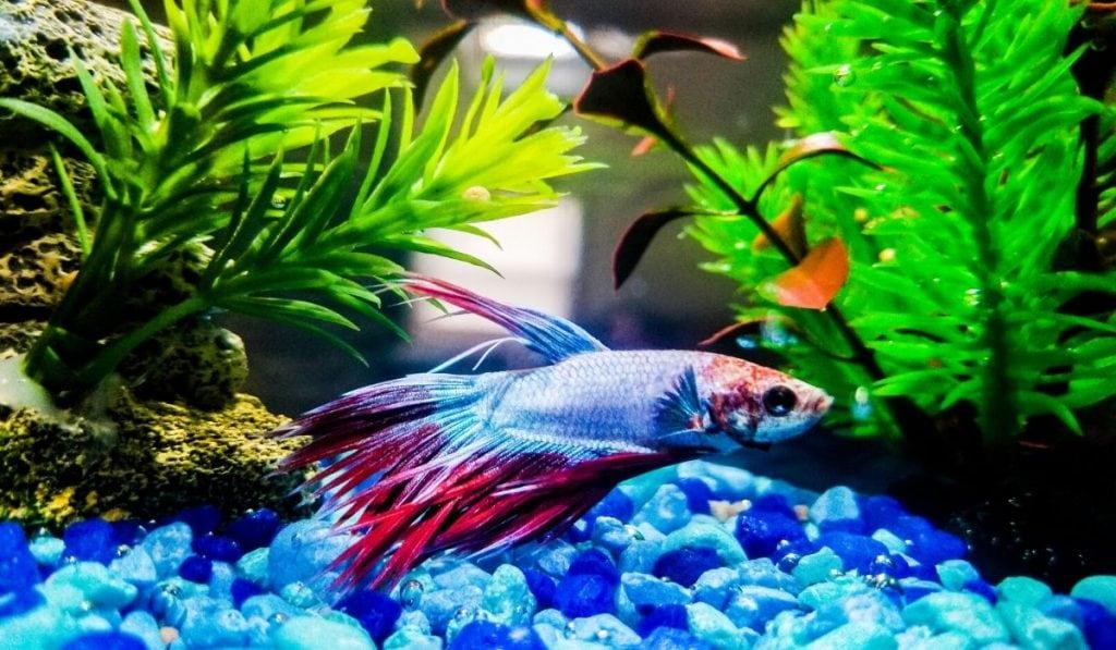 betta fish in a tank