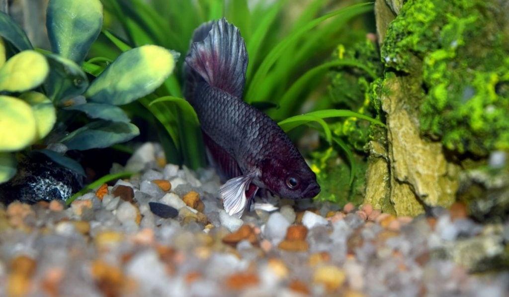 black betta fish in a tank