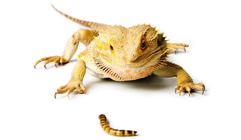 feeding a bearded dragon a mealworm