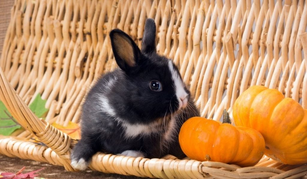 Rabbit and Pumpkins