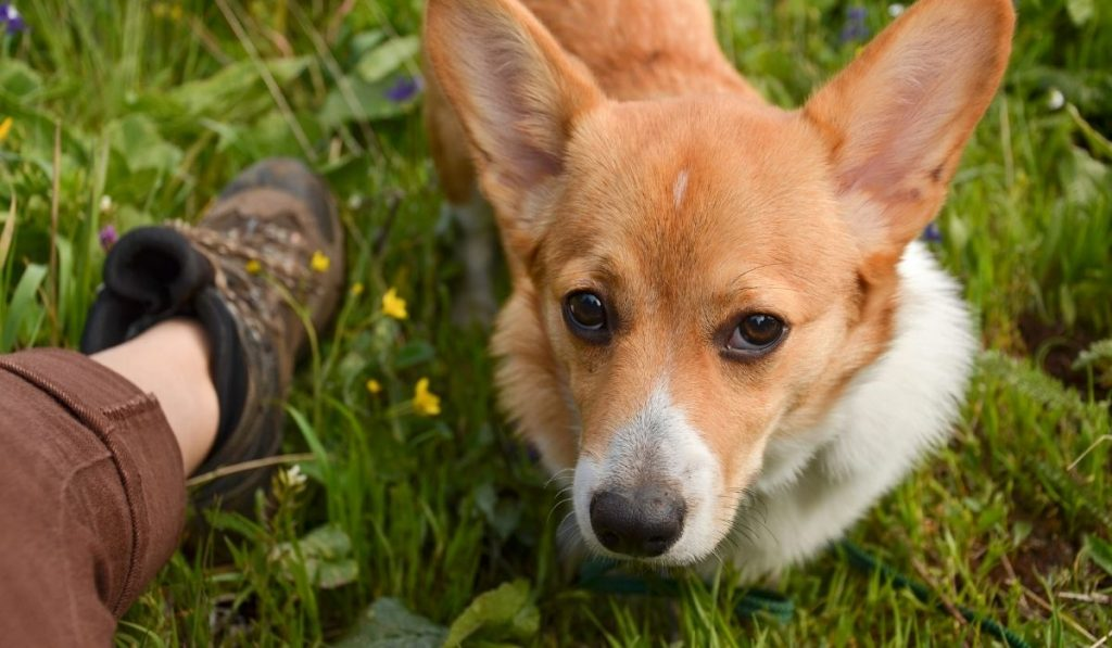 Corgi pet dog hiking