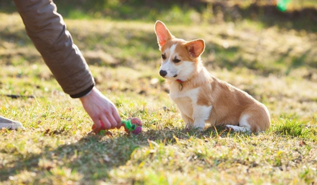 Corgi dog training with owner