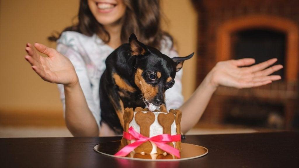 dog eating pupcake dessert