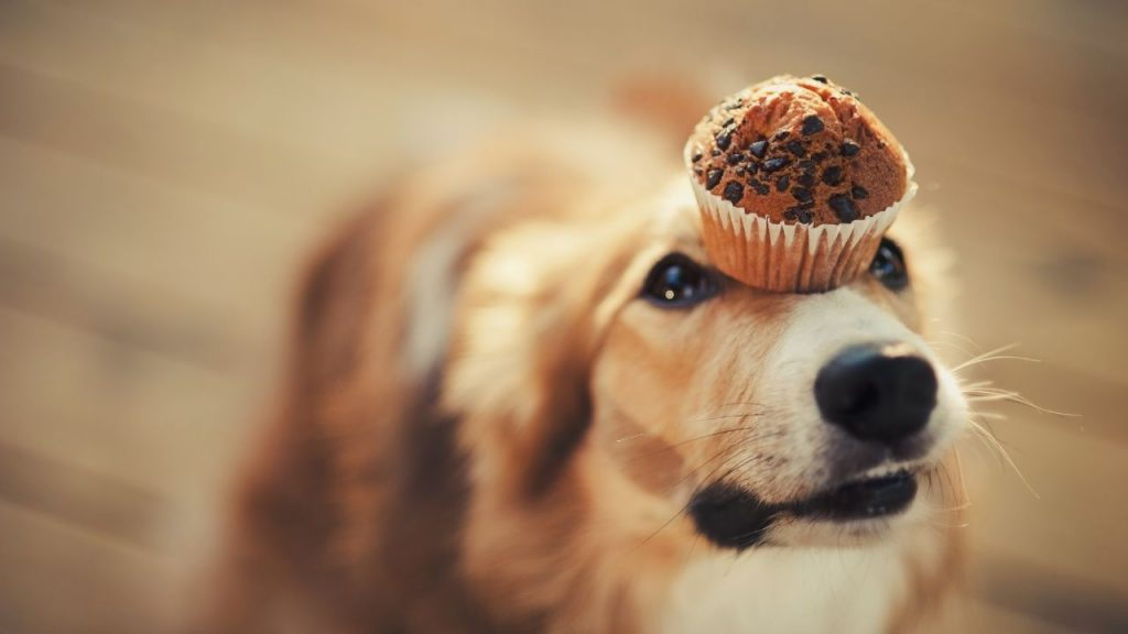 dog with dessert dog name holding muffin on her nose
