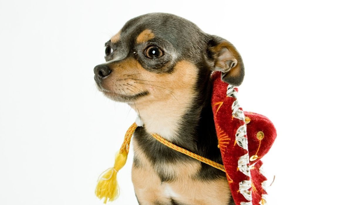 Chihuahua with sombrero hat