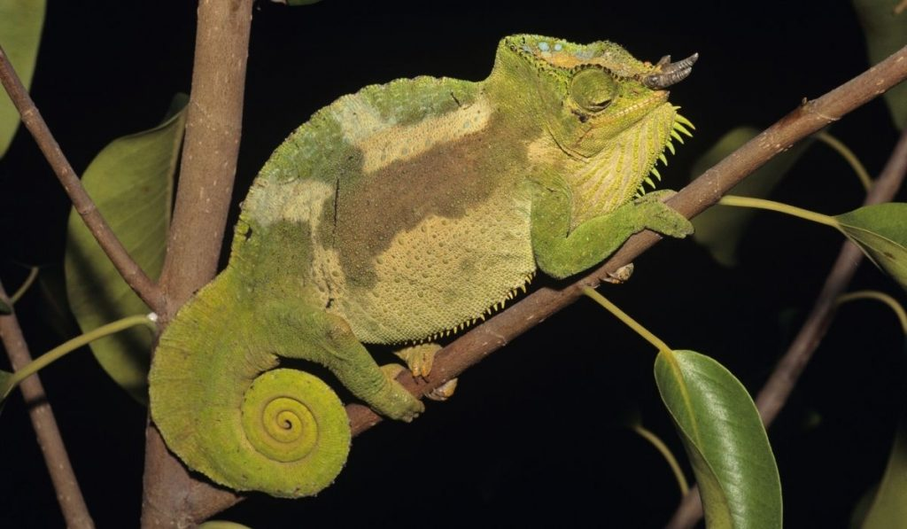 Four-Horned Chameleon on a tree branch