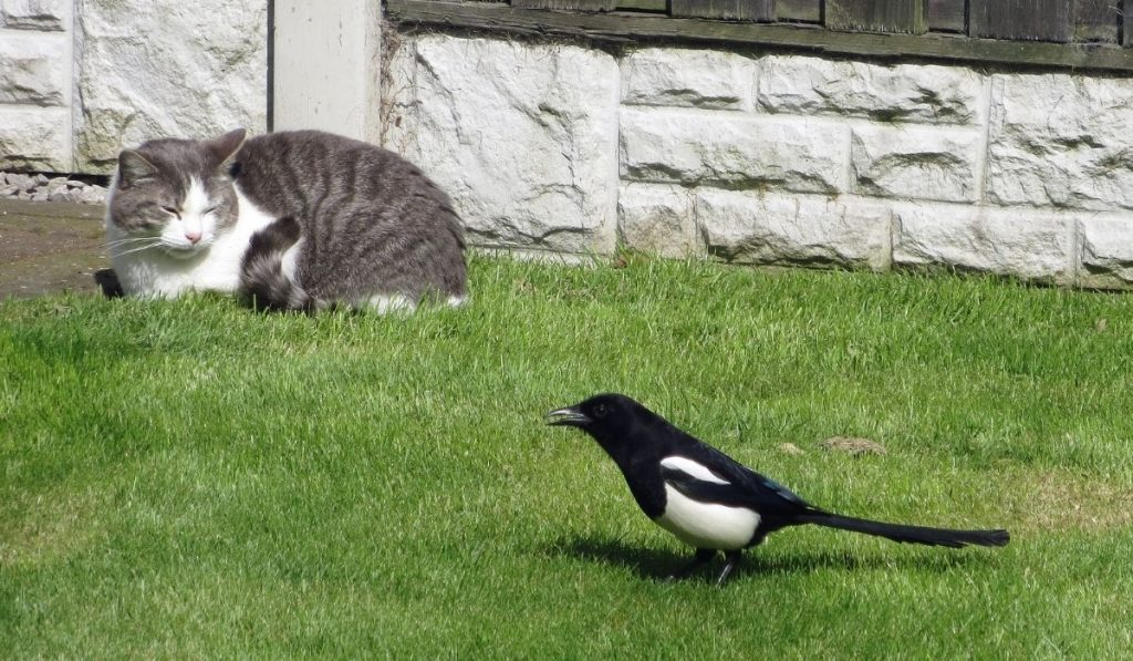 Magpies and Cat