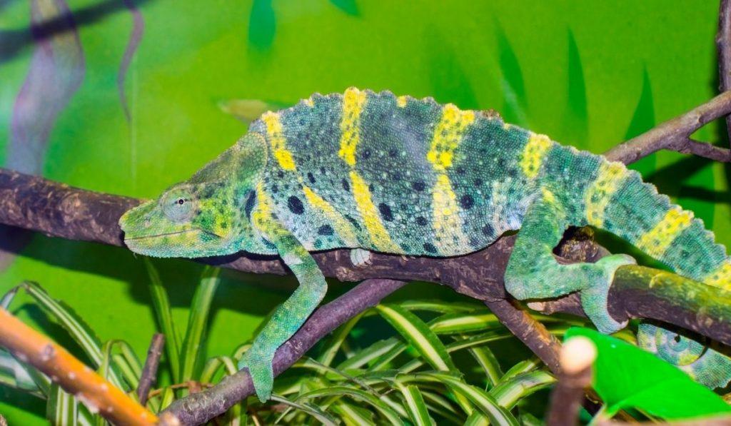 Meller's Chameleon lying on a tree branch