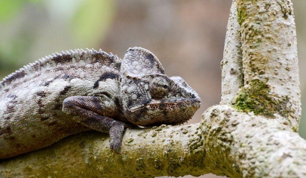 Oustalet's Chamelon on a tree branch