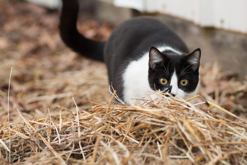 black and white cat hunting