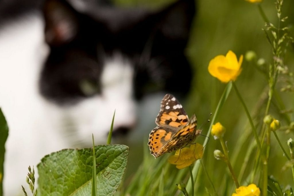 black and white cat stalking a butterfly