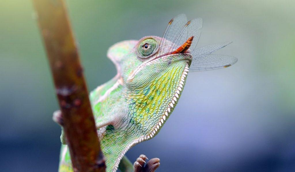 chameleon eats a dragonfly