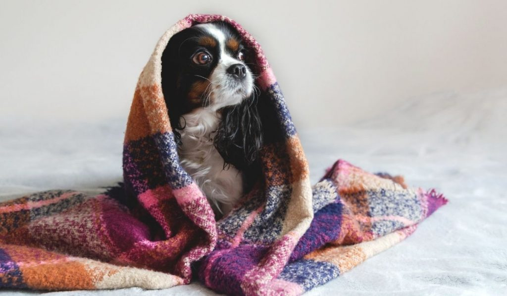 dog covered by a blanket