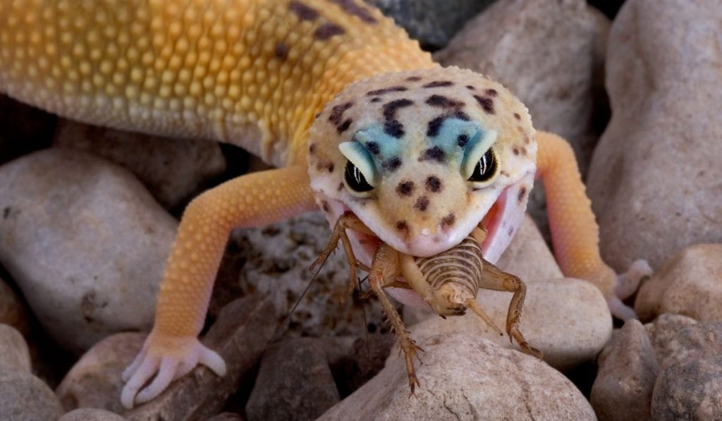 gecko eating a cricket on top of stones