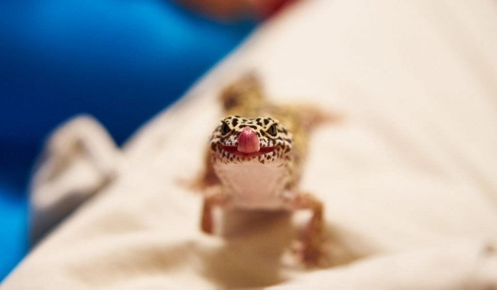 gecko licking mouth