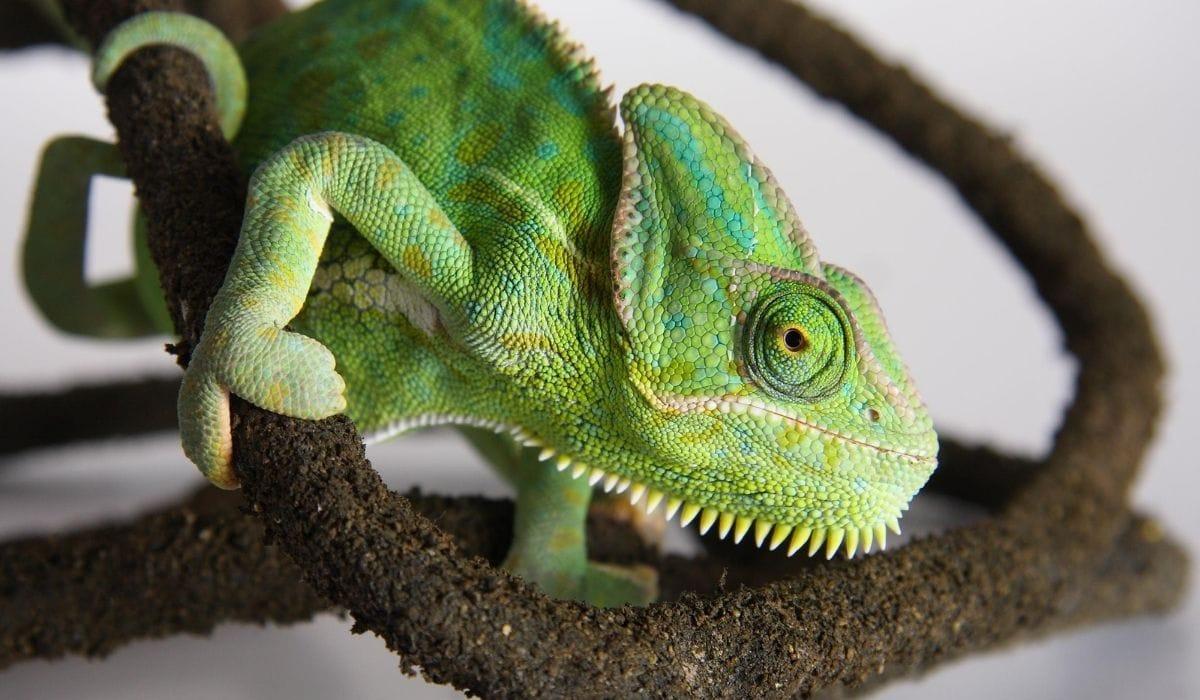 green chameleon on a branch