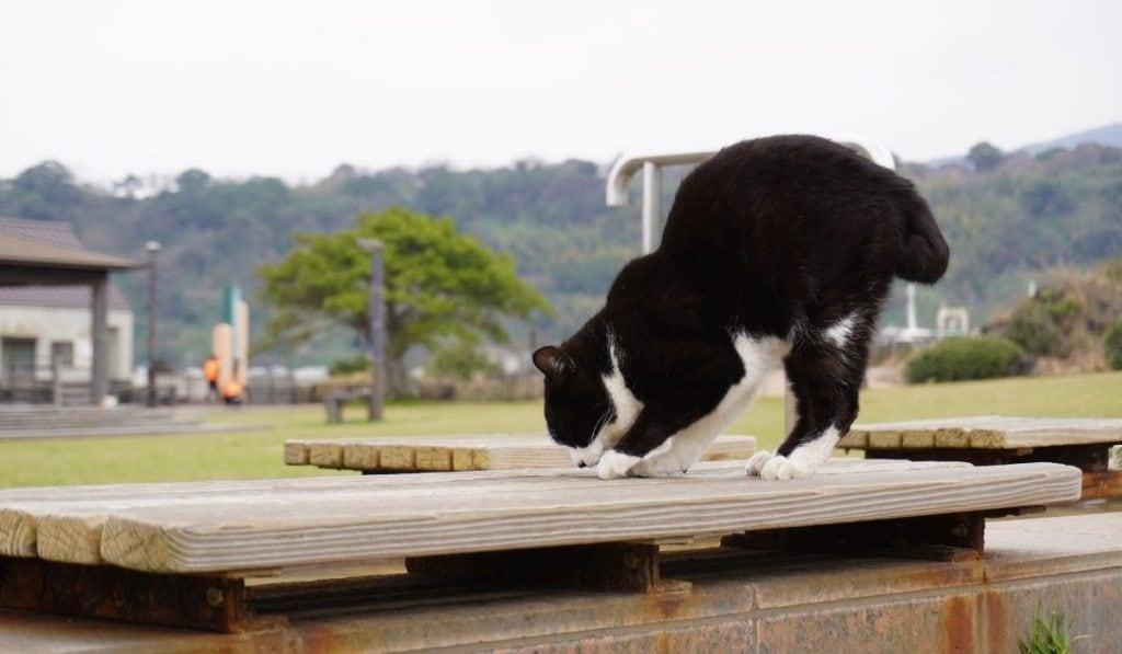 manx cat black and white