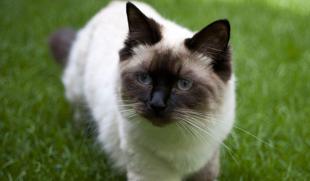 munchkin cat black and white