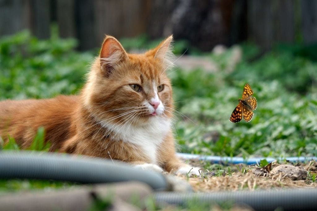 orange cat stalking a butterfly