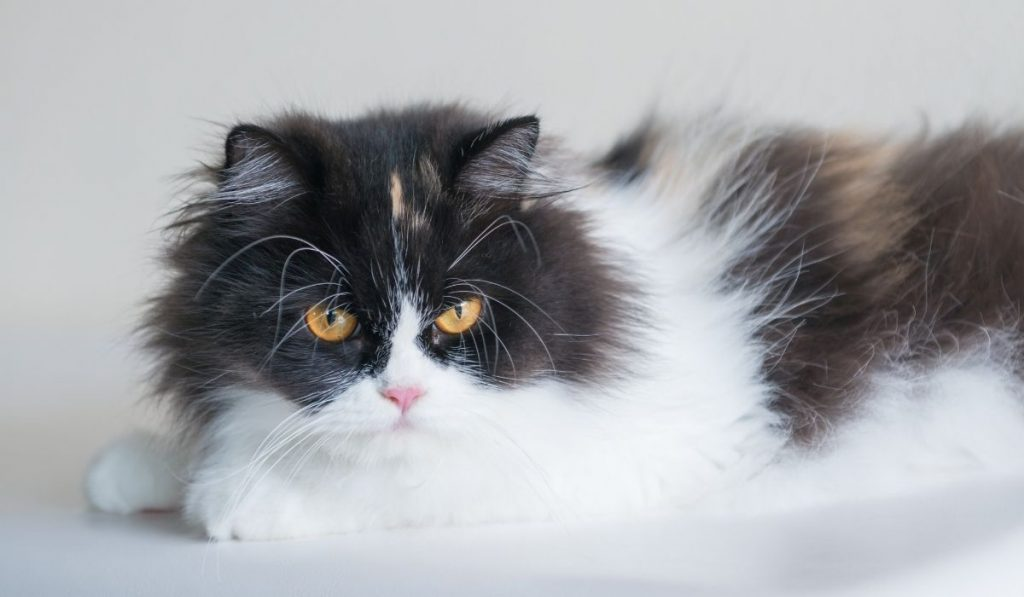 persian cat black and white