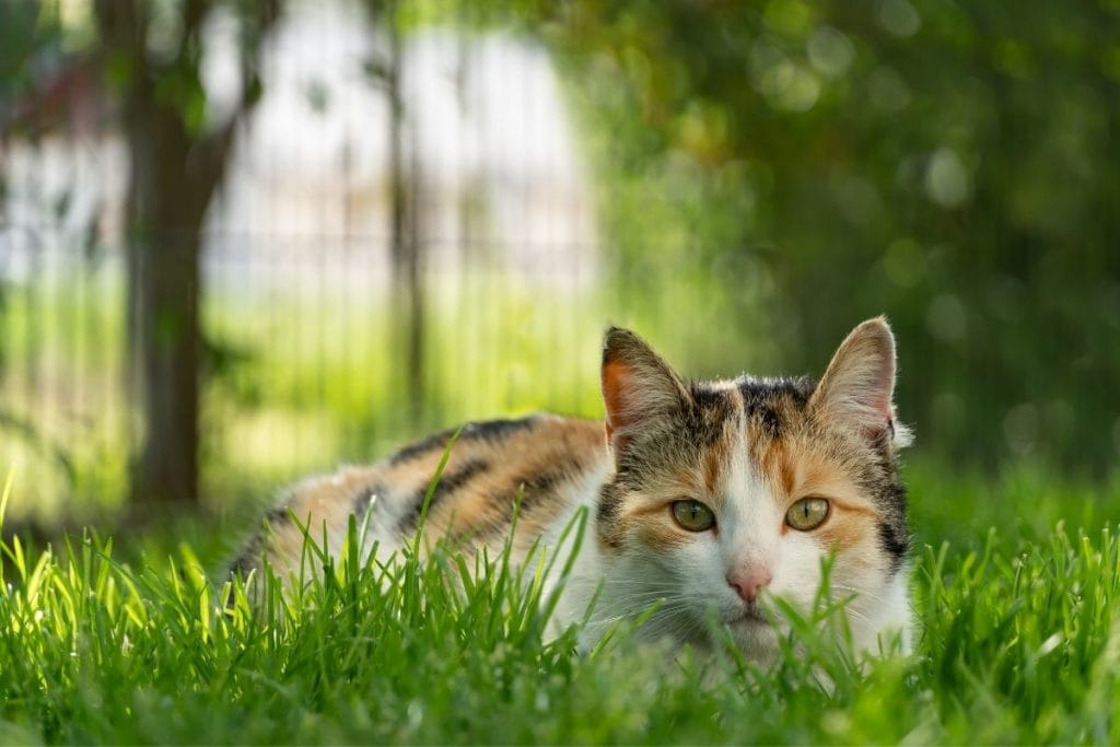 pretty female calico cat in the grass