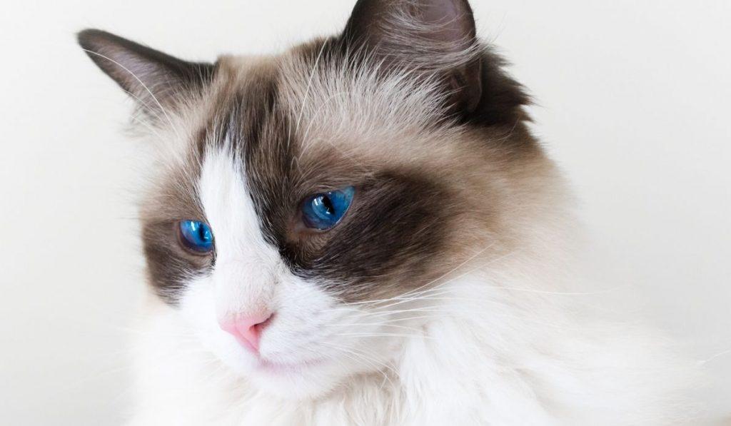 ragdoll cat black and white
