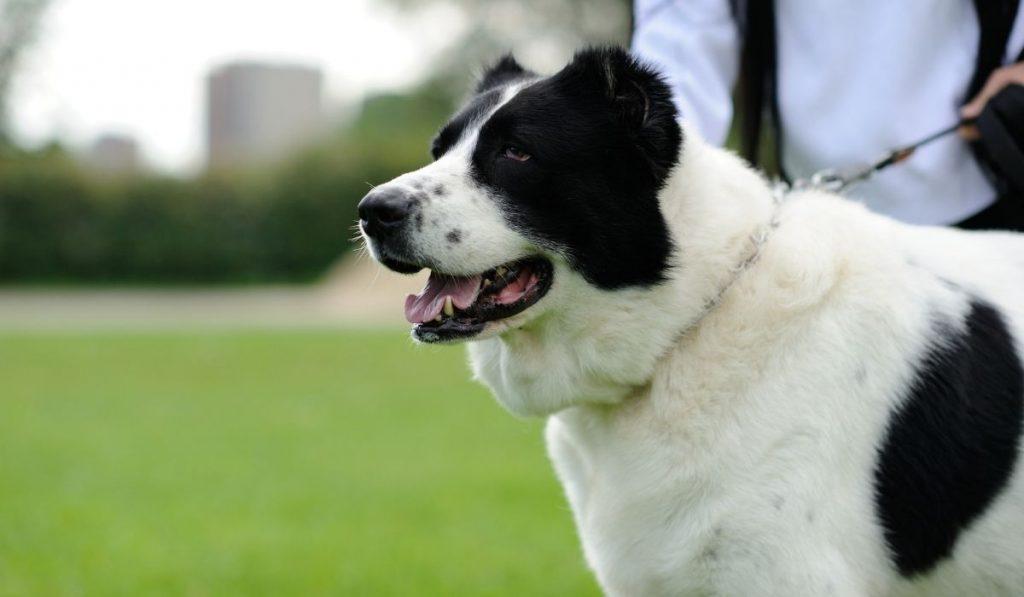Asian Shepherd Dog