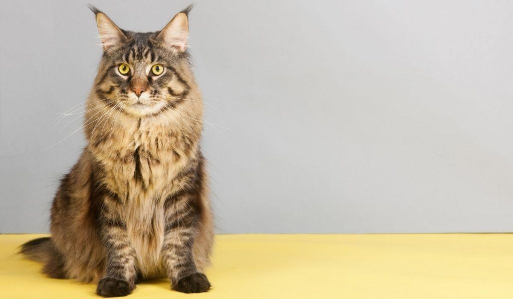 Maine Coons Cat Sitting