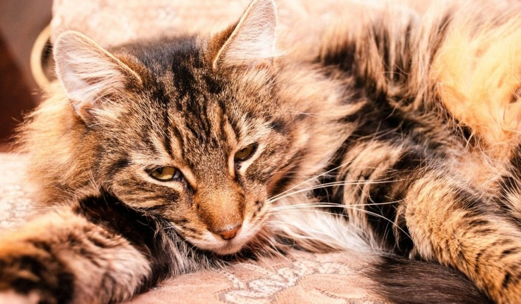 Obese Maine Coon