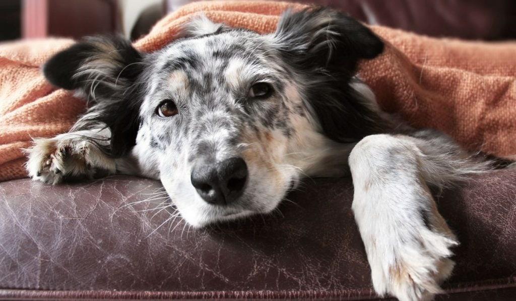 Sick Dog Under The Blanket