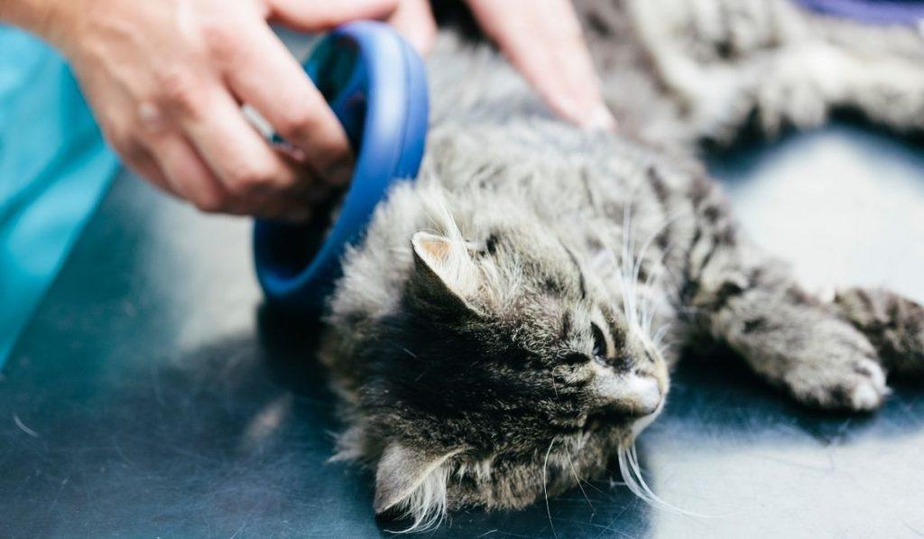 Vet Scanning Cat