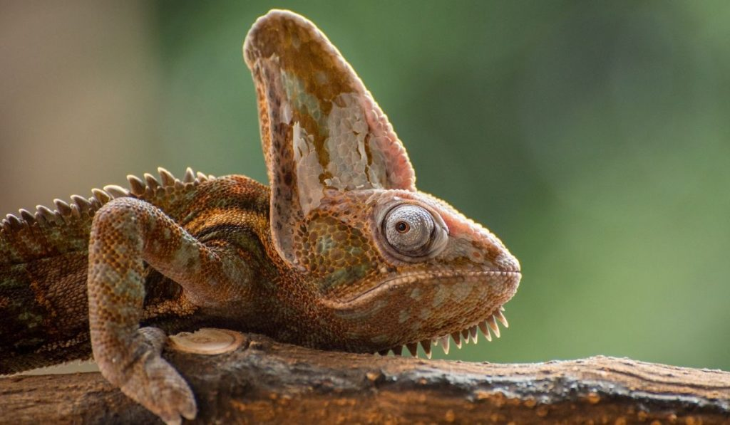 brown veiled chameleon on a branch