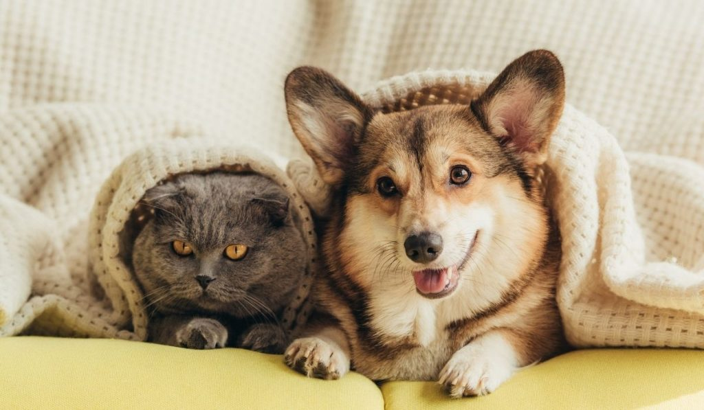 cat and dog comfortably lying on a couch with a blanket over them