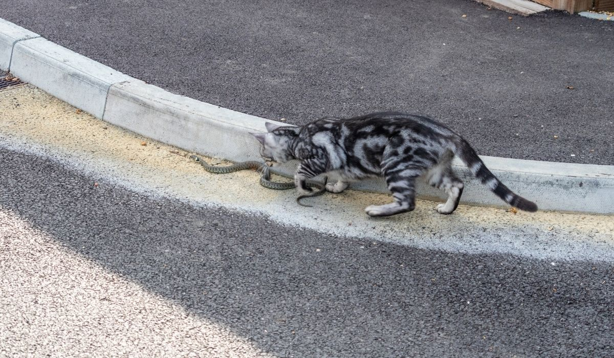 cat chasing the snake on the road