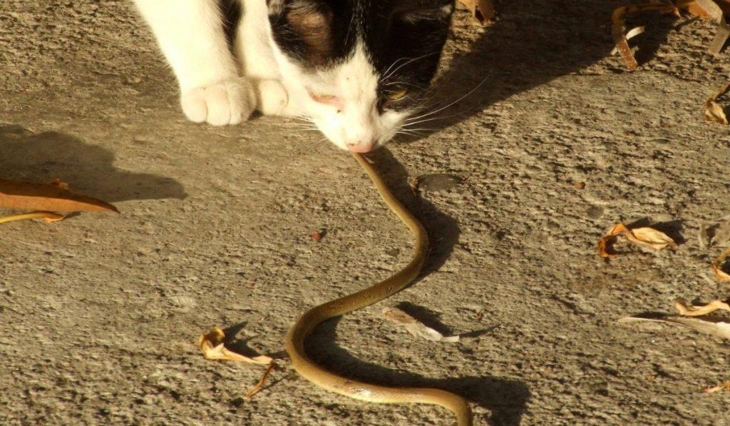 cat eating snake