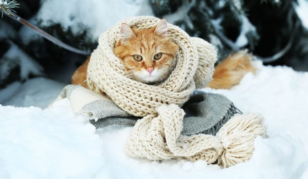 cat outside wrapped in a scarf while laying on the snow