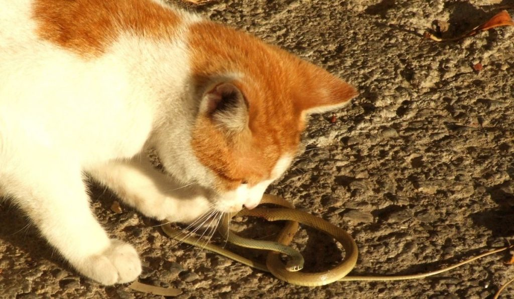 cat planning to kill a snake