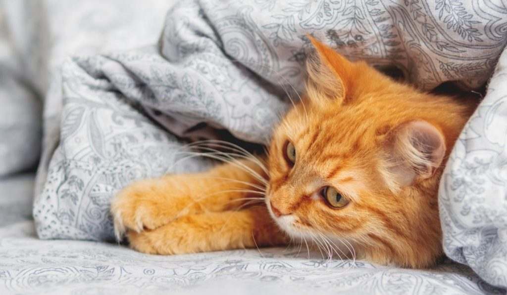 cat staying warm under the blanket