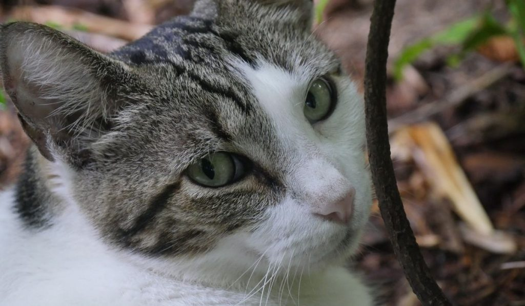 close up photo of a polydactyl cat