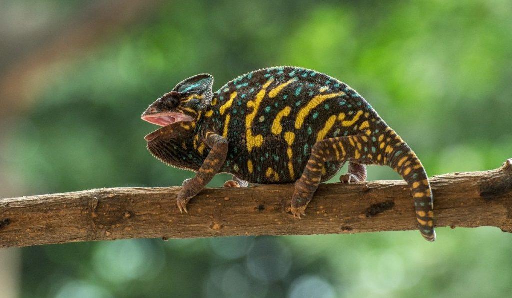 dark veiled chameleon on a branch