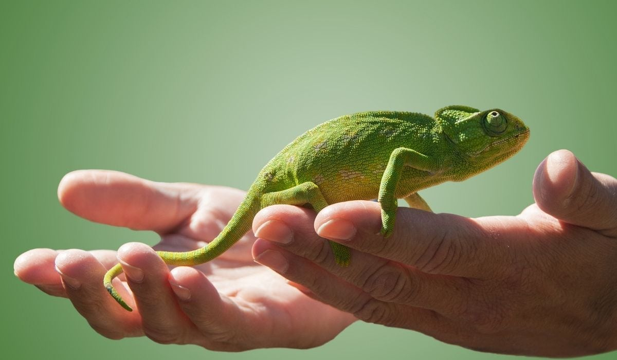green chameleon being held by a man