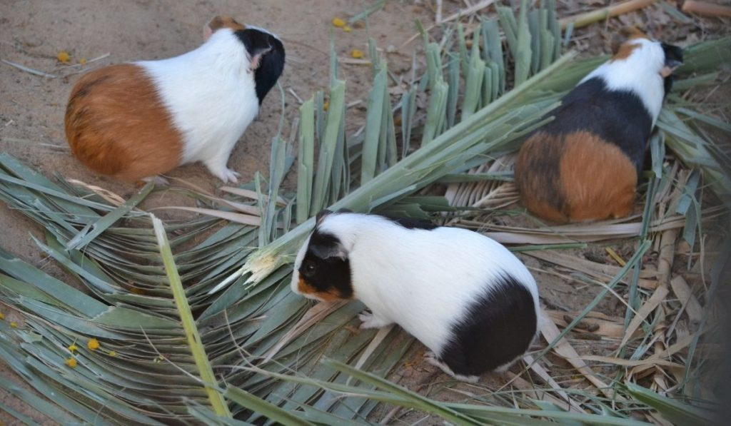 guinea pigs looking for food