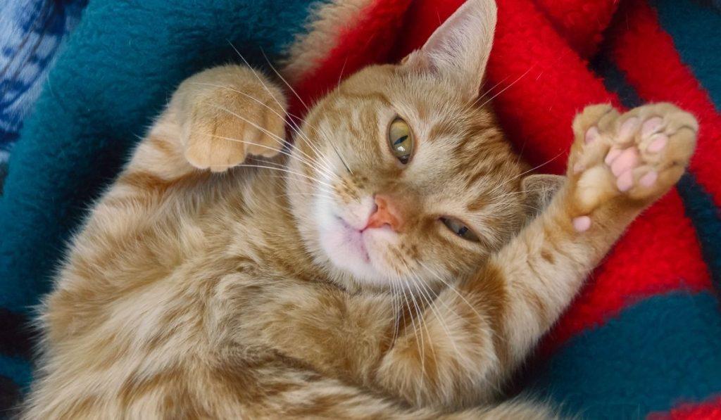 orange polydactyl cat lying while raising a leg