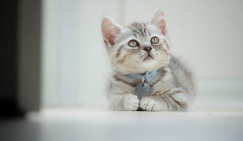 polydactyl kitten looking up