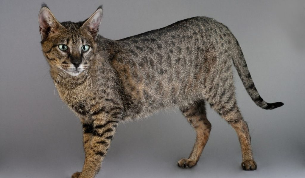 savannah cat on grayish background