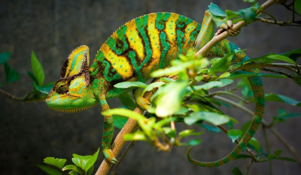 veiled chameleon is blending in the colors of the leaves and branch
