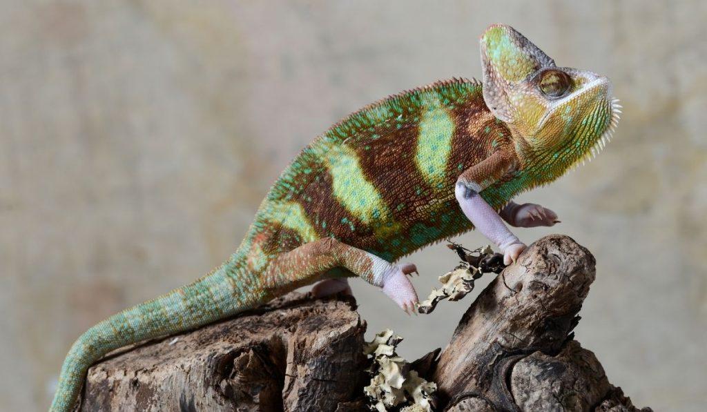 veiled chameleon on a tree branch